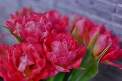 Pretty bouquet of the fresh pink tulips, close up spring flowers royalty free stock photo