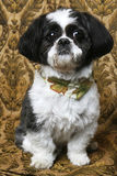 Pretty Boy Shihtzu Dog. Black and white Shih Tzu with fall bandanna shihtzu royalty free stock photos