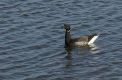 A pretty Brent Goose Branta bernicla swimming in the sea. royalty free stock photos