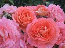 Pretty Bright & Attractive Pink & Orange Rose Flowers. Beautiful Attractive Light Pink & Orange Rose Flowers Blossom In Park Garden, BC, Canada 2018 stock photo