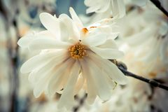 Delicate star magnolia flower in full blook. Pretty, bright, and delicate white star magnolia flower in full bloom in springtime Royalty Free Stock Images