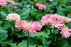 Pretty Bright Pink Flowers With Healthy Green Leaves In Backyard Garden Royalty Free Stock Photography