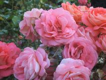 Pretty Bright Pink & Orange Rose Flowers. Beautiful Attractive Pink & Orange Rose Flowers Blossom In Park Garden, BC, Canada 2018 stock images