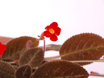Pretty Bright Red Small Flower & Brown Hairy Leave Stock Image