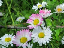 Pretty & Bright White/Pink  Common Daisy Blossom In Spring 2019 stock photography