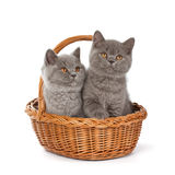 Pretty British Shorthair Blue Kitten in the basket. Purebred British Shorthair Blue Kitten in the basket isolated on white. Two young BRI Cats with copper eyes stock photography