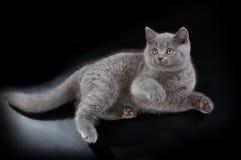 Pretty British Shorthair Blue Kitten on black background. Purebred British Shorthair Blue Kitten on black background. Playful Young BRI Cat with copper eyes royalty free stock photography