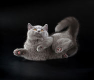 Pretty British Shorthair Blue Kitten on black background. Purebred British Shorthair Blue Kitten on black background. Playful Young BRI Cat with copper eyes stock photo