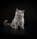 Pretty British Shorthair Blue Kitten on black background. Purebred British Shorthair Blue Kitten on black background. Playful Young BRI Cat with copper eyes stock photos