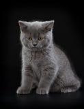 Pretty British Shorthair Blue Kitten on black background. Stock Photo