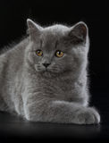 Pretty British Shorthair Blue Kitten on black background. Royalty Free Stock Photos