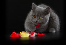 Pretty British Shorthair Blue Kitten on black background. Stock Photography