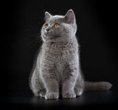 Pretty British Shorthair Blue Kitten on black background. Royalty Free Stock Images