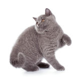 Pretty British Shorthair Blue Kitten isolated on white. Purebred British Shorthair Blue Kitten isolated on white. Playful Young BRI Cat with copper eyes stock images