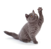 Pretty British Shorthair Blue Kitten isolated on white. Purebred British Shorthair Blue Kitten isolated on white. Playful Young BRI Cat with copper eyes. High stock image