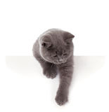 Pretty British Shorthair Blue Kitten isolated on white. Purebred British Shorthair Blue Kitten isolated on white. Playful Young BRI Cat with copper eyes. Peep stock photography
