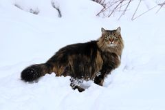A pretty brown-black Norwegian Forest Cat in deep snow.  Stock Photo