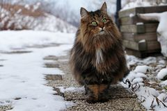 A pretty brown-black Norwegian Forest Cat on a footpath.  Stock Image