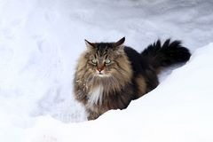 A pretty brown-black Norwegian forest cat sits curiously in the snow.  Royalty Free Stock Photos