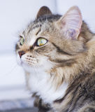 Pretty brown cat of siberian breed in the garden, feline face. Adorable female cat, brown white color siberian breed Stock Image