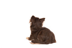 Pretty brown chihuahua adult dog lying down looking up seen from. The back isolated on a white background Stock Images