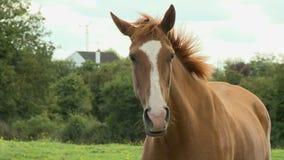 A Pretty Brown Horse