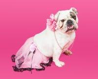 Pretty Bulldog Wearing Pink Tutu Royalty Free Stock Images