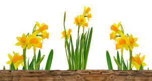Pretty bunch of daffodils Stock Photos