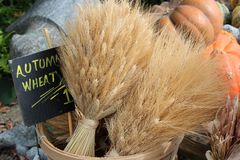 Autumn wheat bunched together and tied with ribbon in wood basket. Pretty bunches of Autumn wheat tied together with ribbon in wood basket at local outdoor stock images
