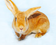 Pretty bunny on snow Stock Photo