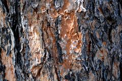Pretty bark pine stock image