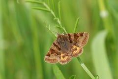 A pretty Burnet Companion Moth Euclidia glyphica perching on a leaf. A  Burnet Companion Moth Euclidia glyphica perching on a leaf Royalty Free Stock Photos