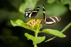 Pretty Butterflies Royalty Free Stock Photo