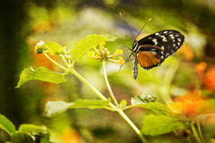Pretty Butterfly. Close up photo of a pretty orange and black butterfly resting on a flower in a garden. Photo has been treated with a texture effect for an royalty free stock photos