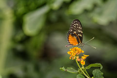 Pretty Butterfly. Close up photo of a pretty orange, white and black butterfly on a yellow flower in a garden royalty free stock image