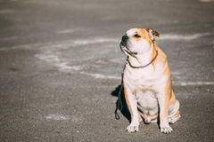 Pretty Ca De Bou或Perro De Presa Mallorquin是一条典型的Molossian狗 免版税库存图片