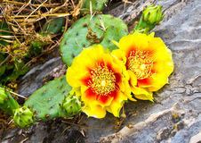 Pretty Cactus Blooms Stock Photo