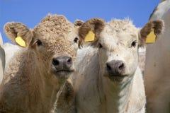 Pretty calves Royalty Free Stock Photo