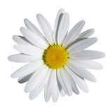 Pretty camomile flower Stock Photos