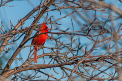 Beautiful Red Cardinal perched in a leafless tree. Stock Images