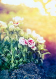 Pretty carnation flowers in sunset light in garden bed Royalty Free Stock Image