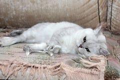 Pretty cat Royalty Free Stock Photo