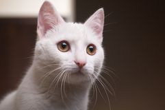 Pretty cat Royalty Free Stock Photo