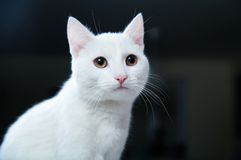 Pretty Cat Royalty Free Stock Image