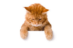 Pretty cat above white banner Stock Photography