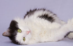 Pretty Cat. Pretty black and white cat with a cute expression relaxing in front of the camera Stock Photo