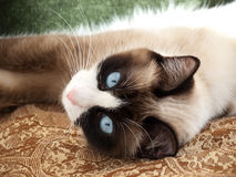 Pretty cat with blue eyes breed snowshoe. Cat breed snowshoe laying on gold fabric Royalty Free Stock Photography