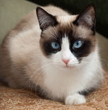 Pretty cat with blue eyes breed snowshoe. Cat breed snowshoe laying jn gold fabric Stock Photos