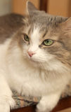 Pretty cat. On the blurred background Royalty Free Stock Images