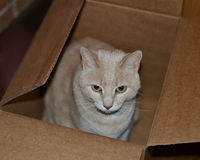 Pretty Cat in cardboard box Royalty Free Stock Photography